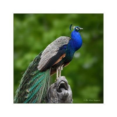 Blauer Pfau [Pavo cristatus]