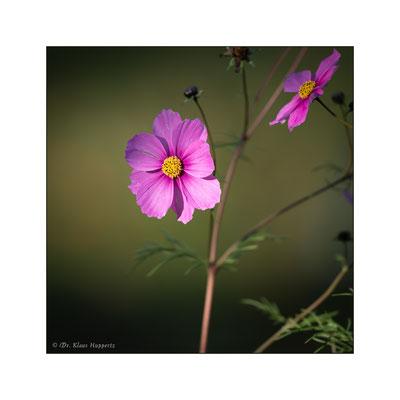Schmuckkörbchen [Cosmos bipinnatus]