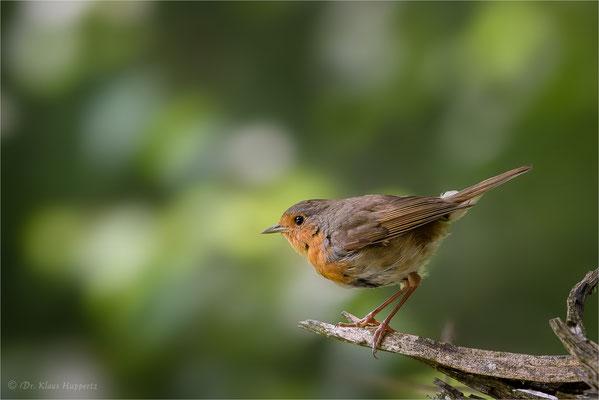 Rotkehlchen [Erithacus rubecula] / wildlife