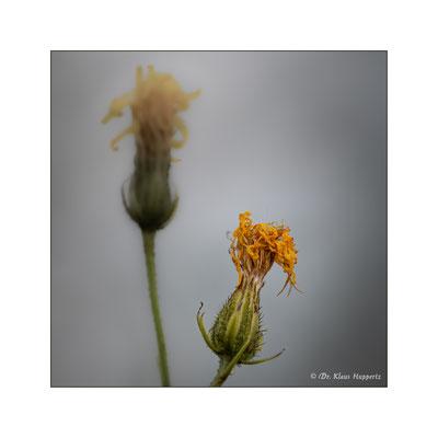 Gewöhnliche Bitterkraut [Picris hieracioides]