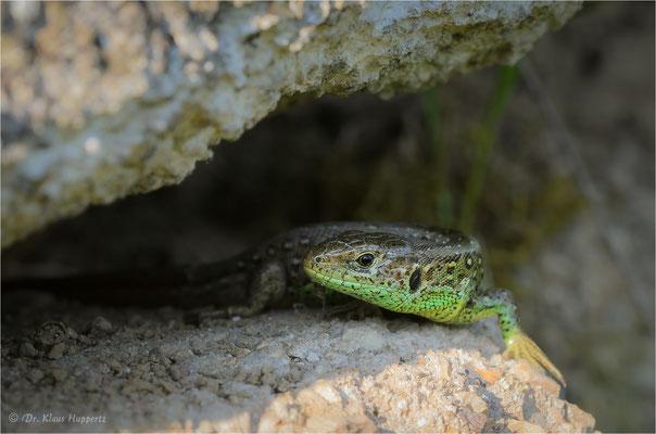 Zauneidechse [Lacerta agilis] / wildlife