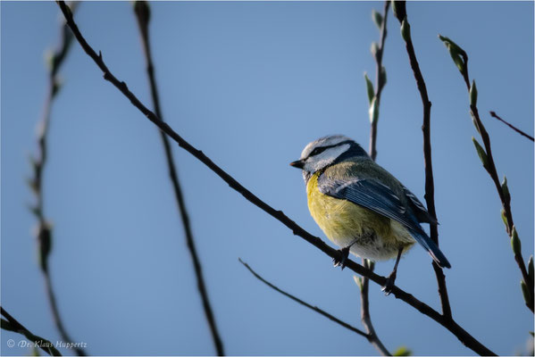 Blaumeise [Parus caeruleus]  /  wildlife