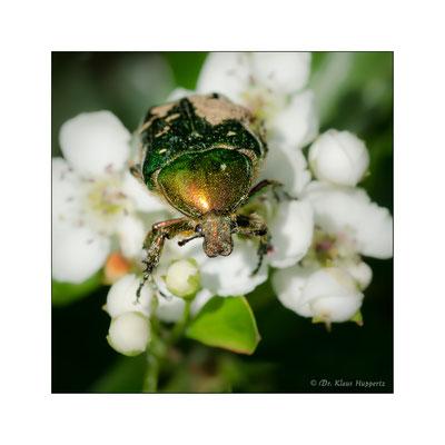 Großer Rosenkäfer [Protaetia speciosissima]