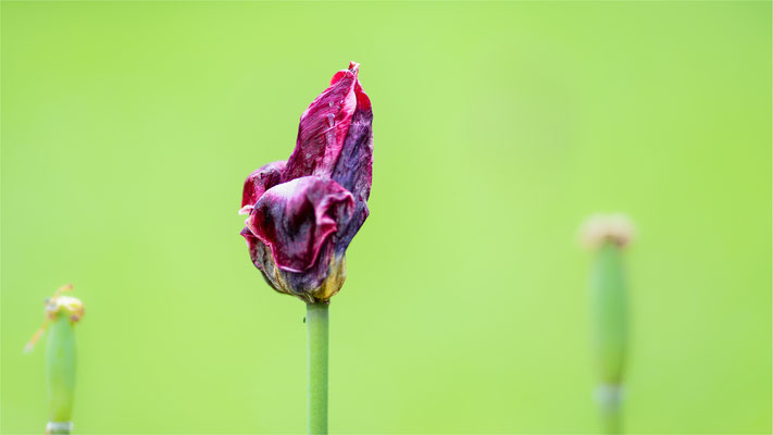 Tulpe [Tulipa spec.]