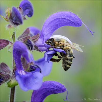 """""""Blütenbiologie"""" / Westliche Honigbiene [Apis mellifera]"""