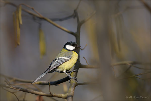 Kohlmeise [Parus major] / wildlife