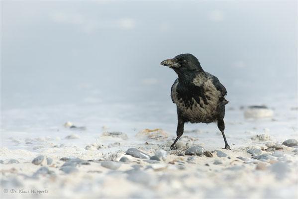 Aaskrähe [Corvus corone] / Nebelkrähen-Morphe / wildlife
