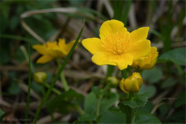 Sumpfdotterblume [Caltha palustris]