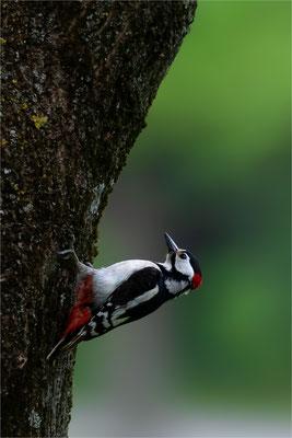 Buntspecht [Dendrocopos major, Syn.: Picoides major]  /  wildlife