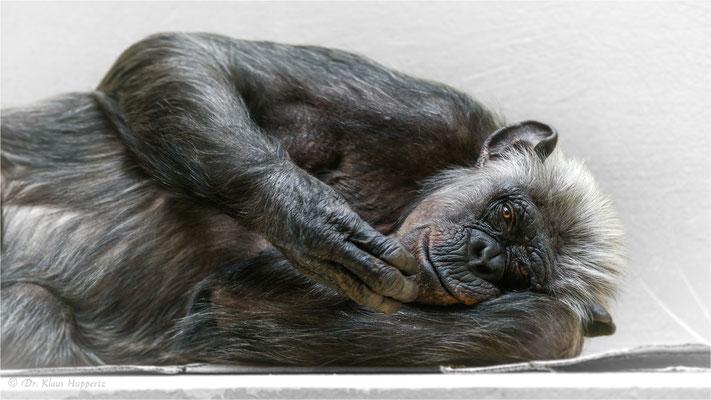 """Gemeiner Schimpanse [Pan troglodytes]  /  """"Lulu"""" Zoo Heidelberg"""