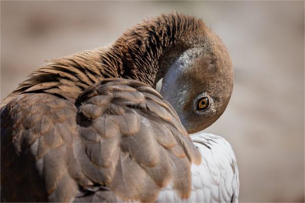 Nilgans [Alopochen aegyptiaca]  /  wildlife