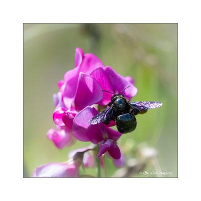 Große Blaue Holzbiene [Xylocopa violacea]