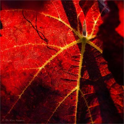 Blatt der Weinrebe [Vitis vinifera] / Herbst