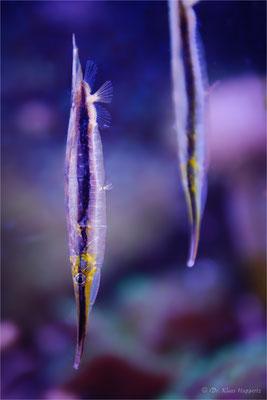 Gestreifter Schnepfenmesserfisch [Aeoliscus strigatus]