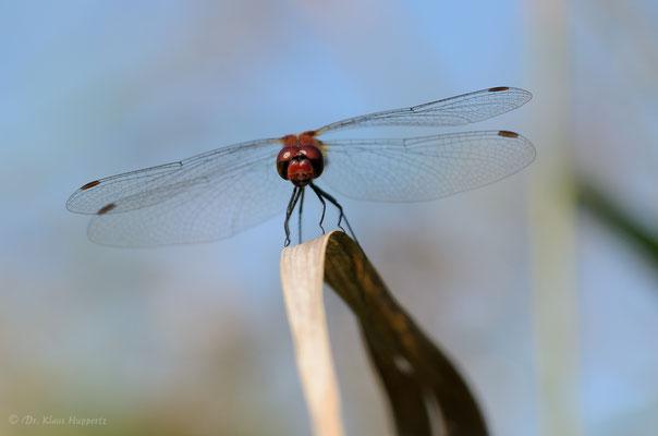 Blutrote Heidelibelle [Sympetrum sanguineum]