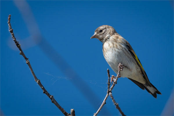 Stieglitz [Carduelis carduelis], Jungvogel  /  wildlife