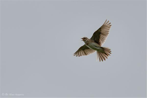 Feldlerche [Alauda arvensis]  /  wildlife