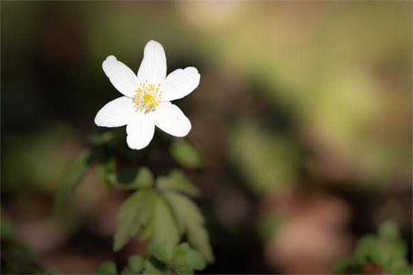 Buschwindröschen [Anemone nemorosa]