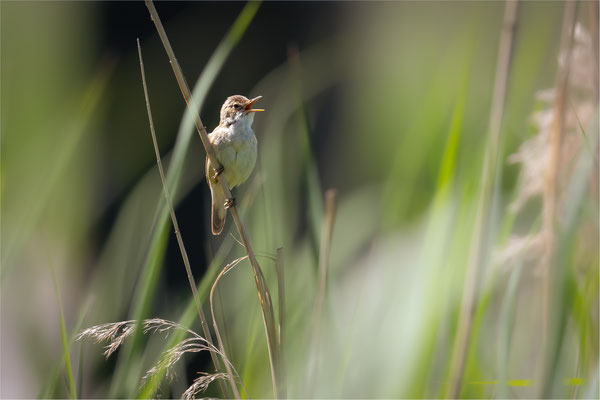 Teichrohrsänger [Acrocephalus scirpaceus]  /  wildlife