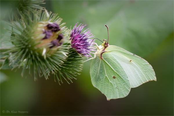 Zitronenfalter [Gonepteryx rhamni]