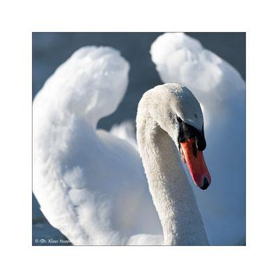 Höckerschwan [Cygnus olor]  / wildlife