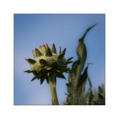 Artischocke [Cynara cardunculus subsp. scolymus]