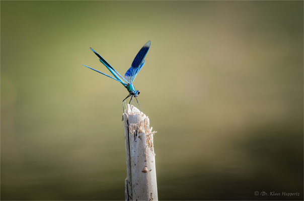 Gebänderte Prachtlibelle [Calopteryx splendens]