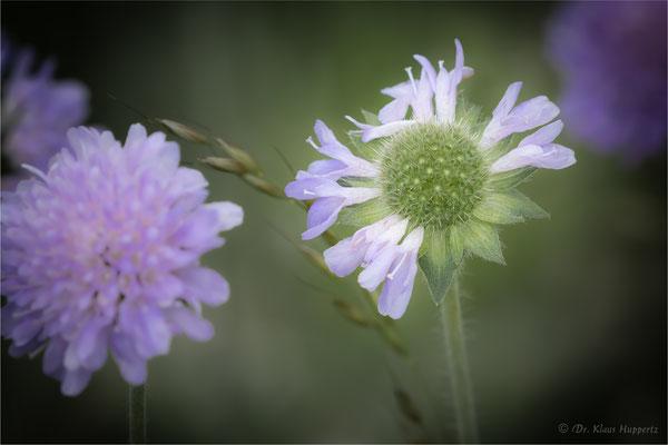Acker-Witwenblume [Knautia arvensis]