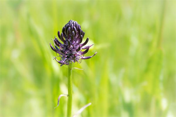 Schwarze Teufelskralle [Phyteuma nigrum]