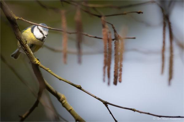 Blaumeise [Cyanistes caeruleus] / wildlife
