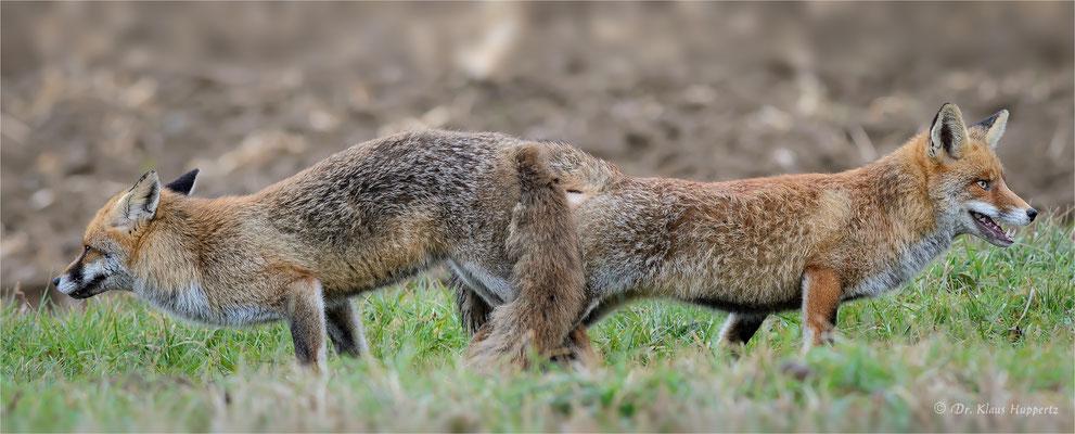 Rotfuchs [Vulpes vulpes] / wildlife