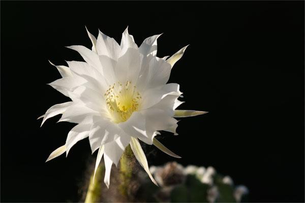 Kaktus [Echinopsis denudata]