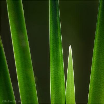 Breitblättriger Rohrkolben [Typha latifolia]