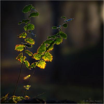 beginnende Verfärbung / Herbst