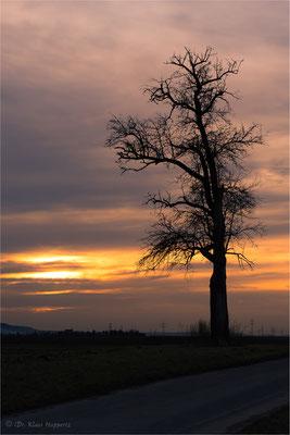 Baum bei Neckargartach / Baden-Württemberg