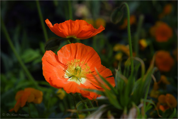 Mohn [Papaver spec.]