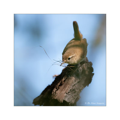 Zaunkönig [Troglodytes troglodytes]  /  wildlife