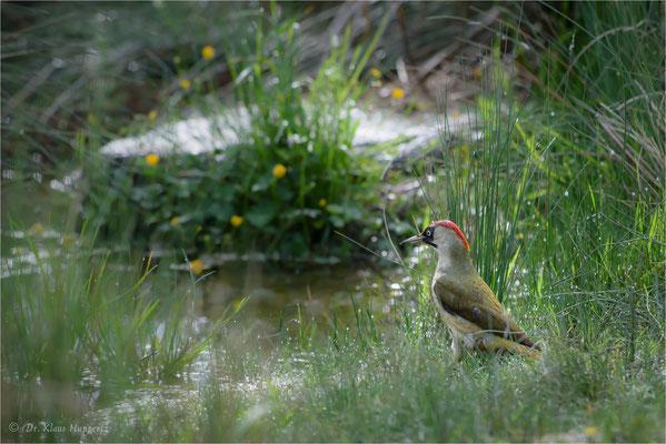 Grünspecht [Picus viridis] / wildlife