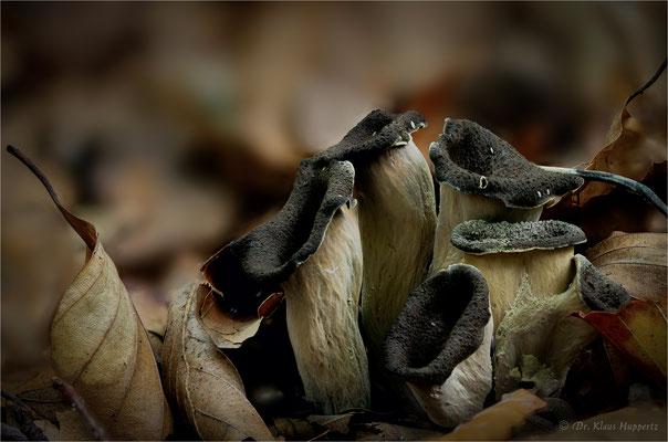 Totentrompete [Craterellus cornucopioides]