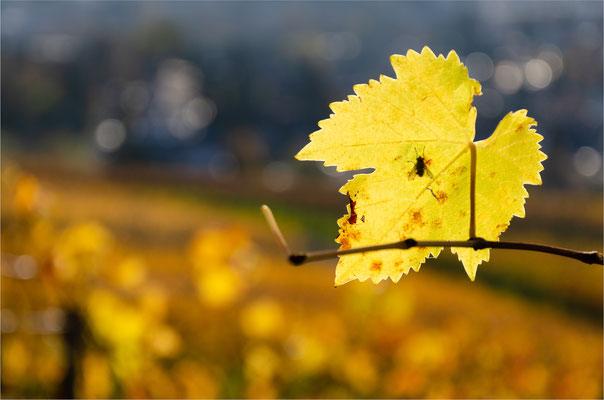 Weinrebe [Vitis vinifera]