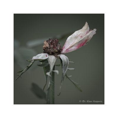 Rose [Rosa spec.]