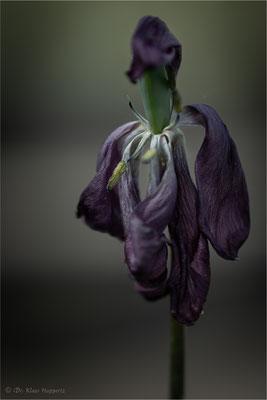 Tulpe [Tulip spec.]