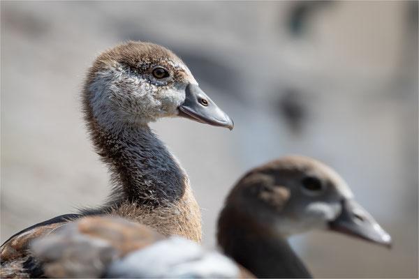 Nilgans [Alopochen aegyptiaca], Jungvogel  /  wildlife