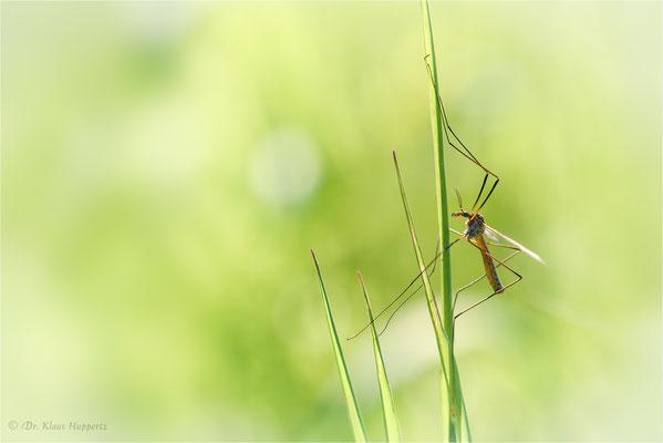 Frühlingsschnake [Tipula vernalis]