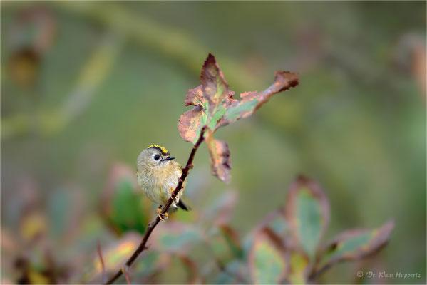 Wintergoldhähnchen [Regulus regulus] / wildlife