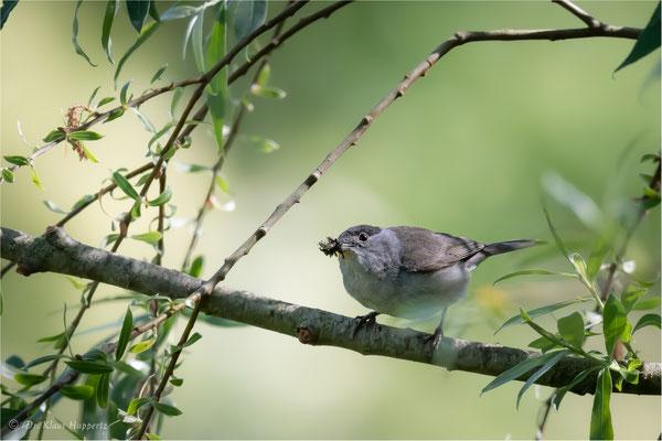 Mönchsgrasmücke [Sylvia atricapilla]  /  wildlife