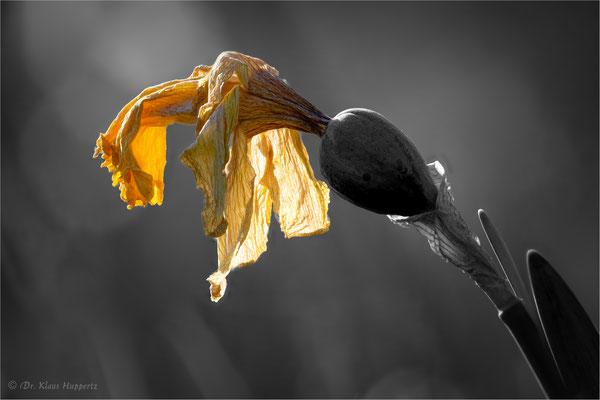 Narzisse [Narcissus spec.]