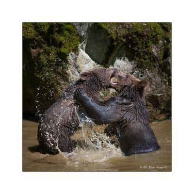 Braunbär [Ursus arctos]
