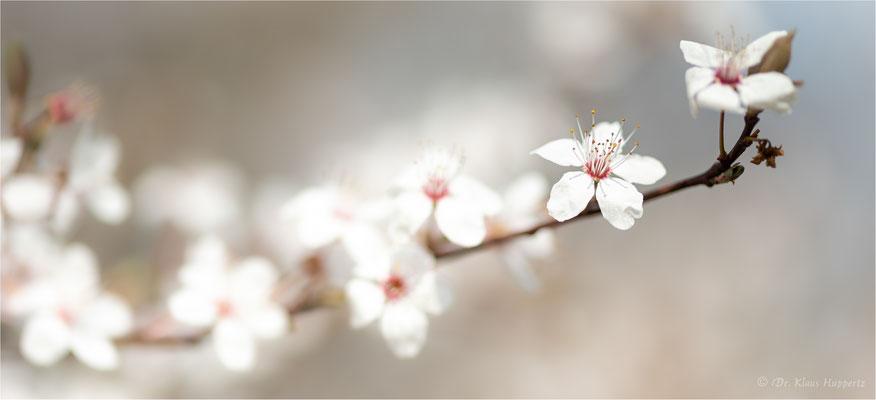Kirschpflaume [Prunus cerasifera]