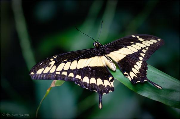 Königs-Schwalbenschwanz [Papilio thoas]